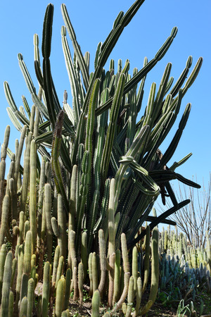 thicket: thicket of cacti in the nature park