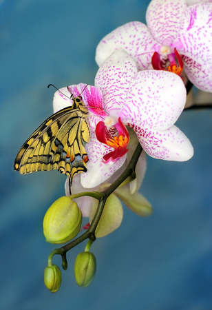 machaon: swallowtail butterfly (papilio machaon) on a flower orchid on a blue background