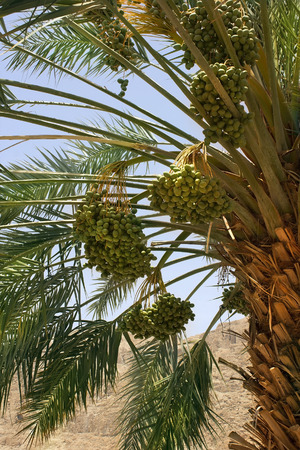 kibbutz: harvest dates on the palm, plantation of date palms at Kibbutz Ein Gedi, Dead Sea area, Israel