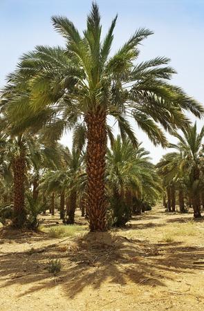 plantation of date palms at Kibbutz Ein Gedi, Dead Sea area, Israel photo
