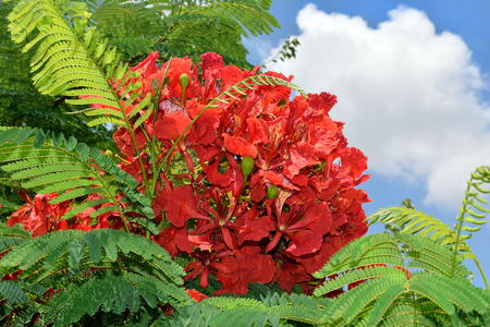 unusually: unusually large inflorescence by scarlet color of mediterranean acacia against the blue sky