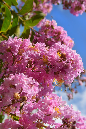 unusually: unusually inflorescence by pink color of lagerstroemia indica crape myrtle, crepe myrtle against the blue sky