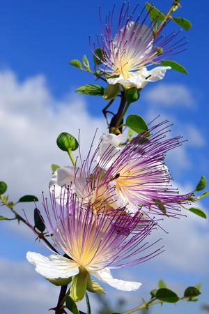 caper: flowers of capparis spinosa, caper bush Stock Photo