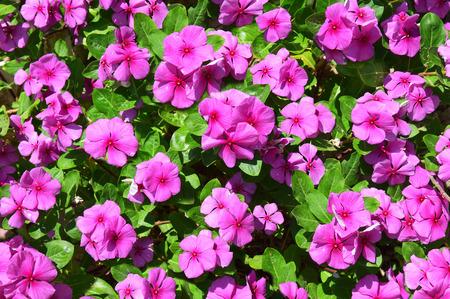 impatiens: pink impatiens flowers background