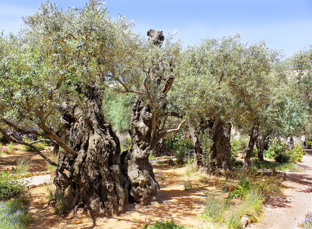 testaments: old olive trees in Garden of Gethsemane, Jerusalem Stock Photo