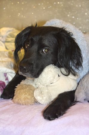 plush toy: muzzle of a black dog, sad looking at the camera and hugging a plush toy Stock Photo