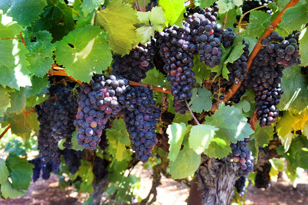 plant sweet: ripe clusters of sweet red grapes Isabella Stock Photo