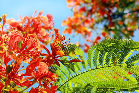 unusually: sunlit unusually large inflorescence by scarlet color of mediterranean acacia
