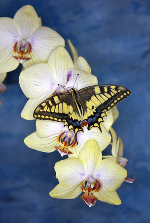 papilio: swallowtail butterfly (papilio machaon) on orchid