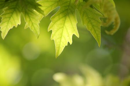 sicomoro: foglie illuminate dal sole di platano su sfondo sfocato