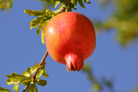 ripe pomegranate fruit on the branch, close-up Stock Photo