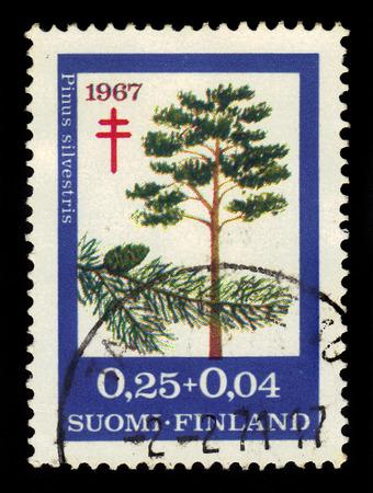 pinus sylvestris: Scots Pine (Pinus sylvestris) Editorial