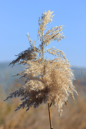 inflorescence of phragmites plant, species of large perennial grasses