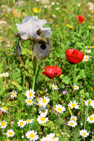 red wild poppies and nazareth iris, ( Iris bismarckiana ), unique flower that grows only in a neighborhood Nazareth, Lower Galilee, Israel Stock Photo