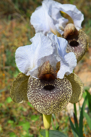 iris bismarckiana (Nazareth Iris), white and leopard coloring, growing only in the Lower Galilee, Israel