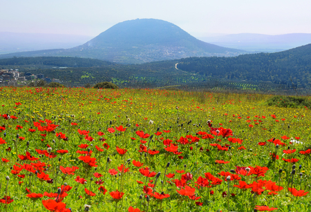 spring blooming of poppies in Galilee near the Nazareth, against the background biblical Mount Tabor, Israel Stock Photo