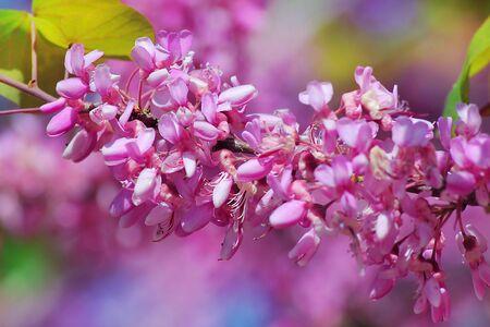 flowering сercis siliquastrum, judas tree
