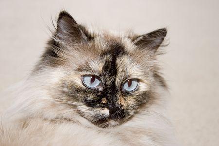 Melancholic himalayan cat with  blue eyes