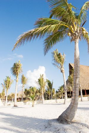 Palm Trees on the white sand beach photo