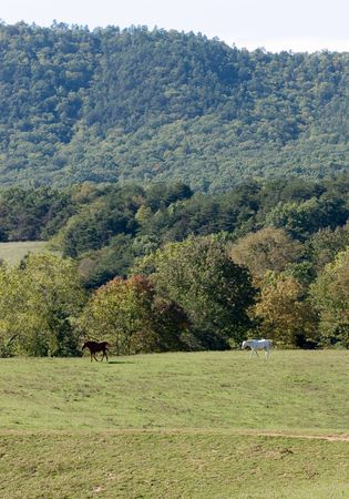 Two Horses - chestnut stallion and the white mare, -  in the wild.
