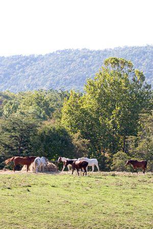Horses eating fodder. Horse farm, Virginia.