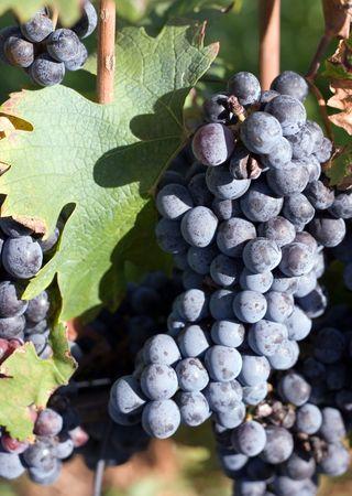 Closeup of a grape clump on the vine