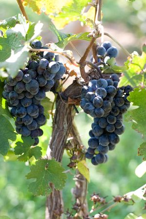 Red ripe grapes hanging from the vine in a Virginia, Shenandoah River Valley vineyard. Stock Photo