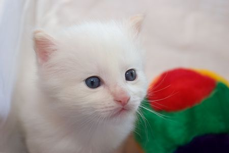 White kitten with blue eyes sitting near colorful fur toy