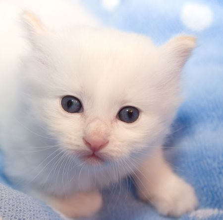3 weeks old  white kitten with blue eyes on the light blue polka dot background looking right into your eyes