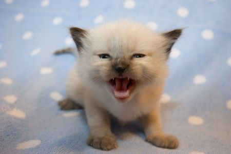 Little  Himalayan Siamese kitten on the light blue polka dot background meowing Stock Photo