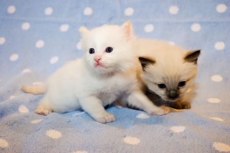 Two little  Himalayan Siamese kittens on the light blue polka dot background