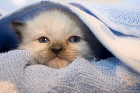 3 weeks old  Himalayan Siamese kitten with blue eyes under the light blue polka dot cover