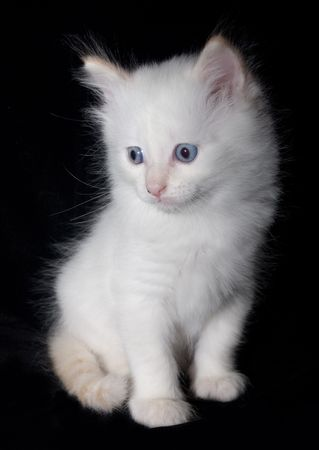 Doll-Face white flame point kitten on the black background.