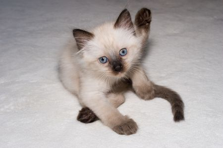 Little funny  Himalayan Siamese kitten with the blue eyes looking into camera