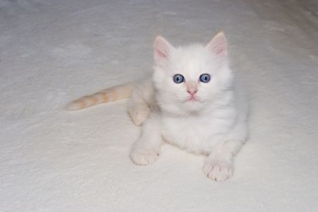 White flame point Himalayan  kitten with blue eyes looking at the camera  Stock Photo