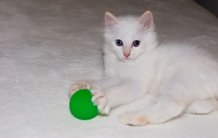 White flame point Himalayan kitten with blue eyes playing with green ball.Space for message.