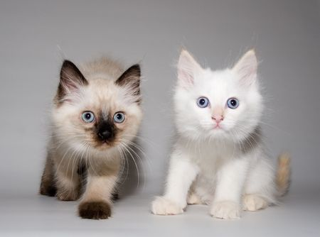 himalayan cat: Two little funny blue eyes Himalayan Siamese kittens - Chocolate Point and Flame point, - looking into the camera Stock Photo