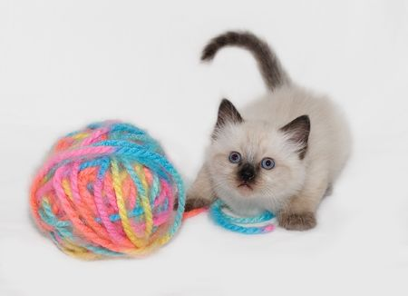 Chocolate Point little funny blue eyes Himalayan Siamese kitten playing with the ball of colorful yarn.