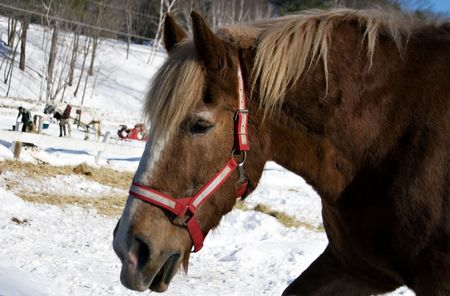 horse sleigh: A chestnut colored horse with the sleigh on background. Winter in Stove. Vermont.