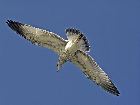 The Soaring sea gull isolated on the blue sky