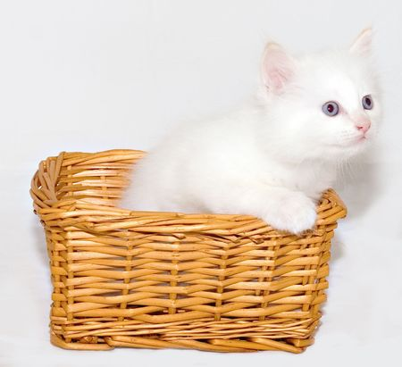 Curious white kitten with blue eyes in the basket