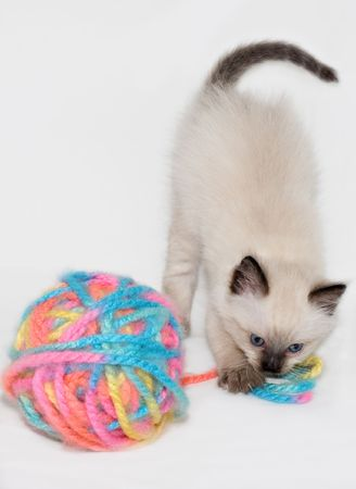 himalayan cat: Chocolate Point little funny blue eyes Himalayan Siamese kitten playing with the ball of colorful yarn.