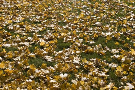 Carpet of maple yellow leaves on the grass. Sun shining through the leaves. Autumn.