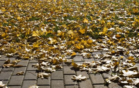 Brick Path and Grass covered by the golden-yellow leaves maple leaves. sun shining through the leaves. Autumn.  Stock Photo