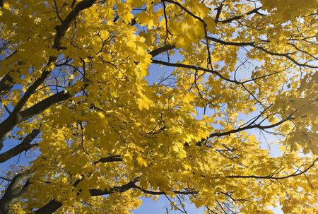 Maple tree with the yellow leaves on the blue sky background. Sun shining through the leaves. Autumn.
