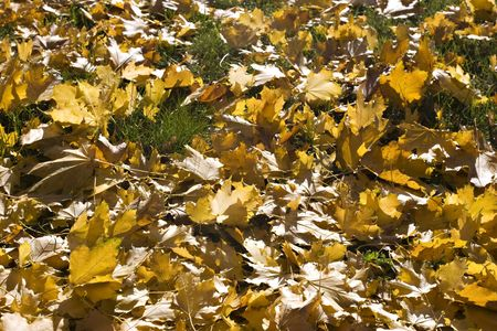 Maple yellow leaves on the grass. Sun shining through the leaves. Autumn. Stock Photo