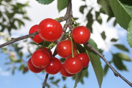 red cherries close up Imagens