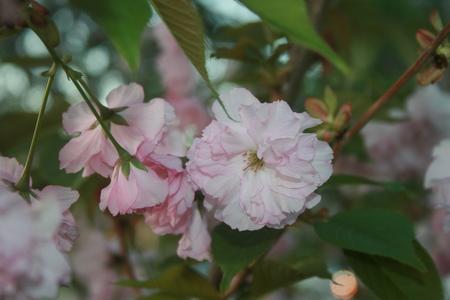 sakura flower Banco de Imagens
