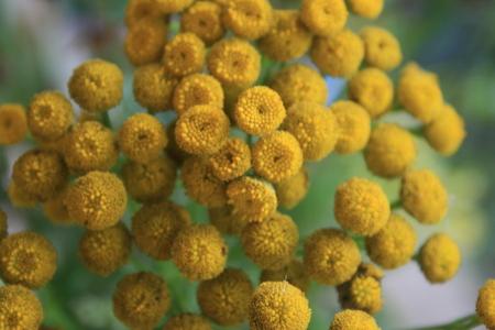 everlasting flower Banco de Imagens