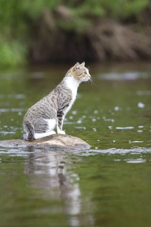cat on stone in the middle of a river photo
